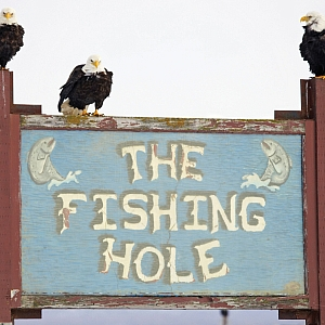 Original spit rats take up position at the Homer Fishing Hole on Kachemak Bay, Alaska. Scott Dickerson/Alaskastock.com