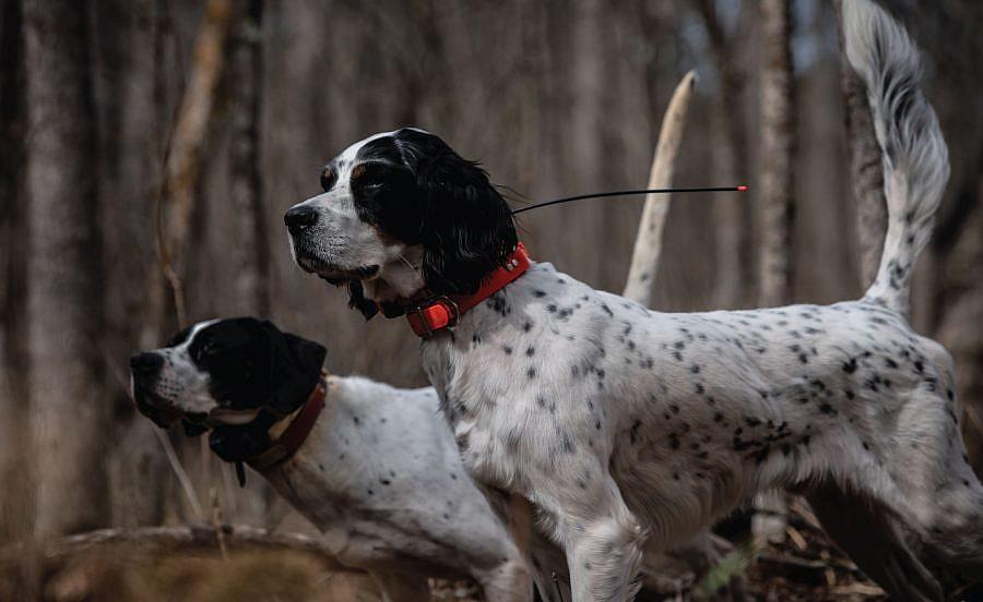 eukanuba sporting dog